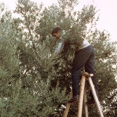 Harvesting Olives by Beating the Branches