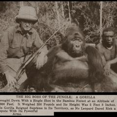 The Big Boss of the Jungle : A Gorilla