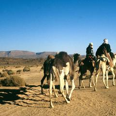 Camels and Riders on Desert Road