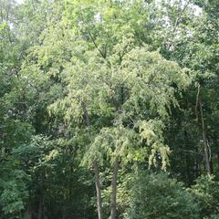 Young tree of black cherry