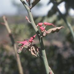 Odd flowers of Pedilanthus, a weed in cornfield north of Ipala