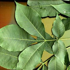 Shagbark hickory with pinnately compound leaves