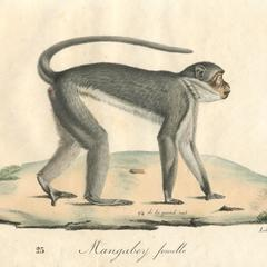 Walking Mangabey Print