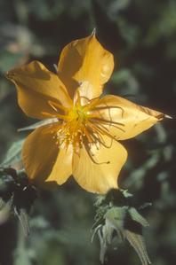 Flower of Mentzelia, a weed in corn field near Cuitzeo