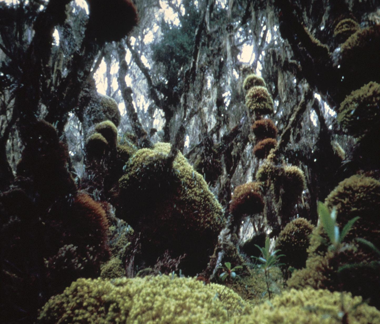 Tropical Vegetation in Ruwenzori Mountains