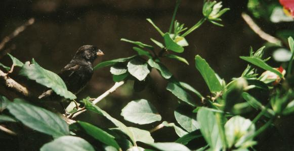 Medium Ground Finch (Geospiza fortis) in a Chinese Hibiscus Shrub(Hibiscus rosa-sinensis)