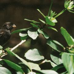 Medium Ground Finch (Geospiza fortis) in a Chinese Hibiscus Shrub(Hibiscus rosa-sinensis)