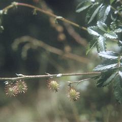 Acaena elongata leaves and fruits, southwest of Ameyalco