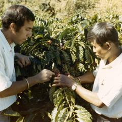 Inspecting the coffee crop around Houei Kong in Attapu Province