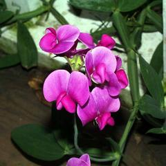 Habit of Lathyrus odoratus
