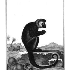 Le Sajou negre (Black capuchin)