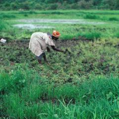 Woman Preparing Rice Land for Planting