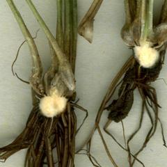 Isoetes Braunii - longitudinal section of stem