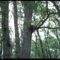 Blue jay nest in an oak tree