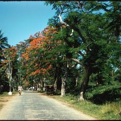 Street in Luang Prabang town, Bougainville trees in bloom