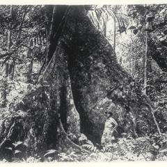 Narra tree, Los Banos, Laguna, 1923-1924