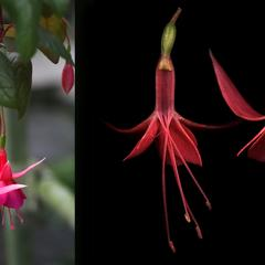 Fuchsia - flowering plant with dissected flower