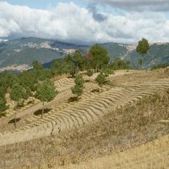 Wheat fields east of Quetzaltenango