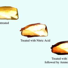 Series of cut corn grains, 1.untreated, 2.  treated with nitric acid, and 3. treated with nitric acid followed by ammonium hydroxide