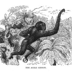 The Agile Gibbon