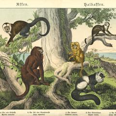 Lemur and New World Monkeys Print