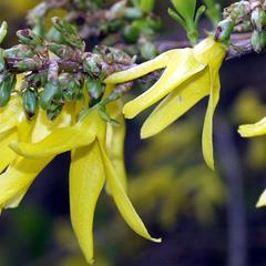 Calyx and corolla of Forsythia