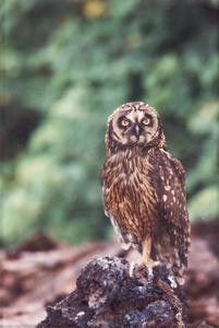 Short-eared Owl (Asio flammeus) on lava