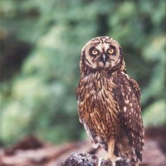Short-eared Owl (Asio flammeus) on lava