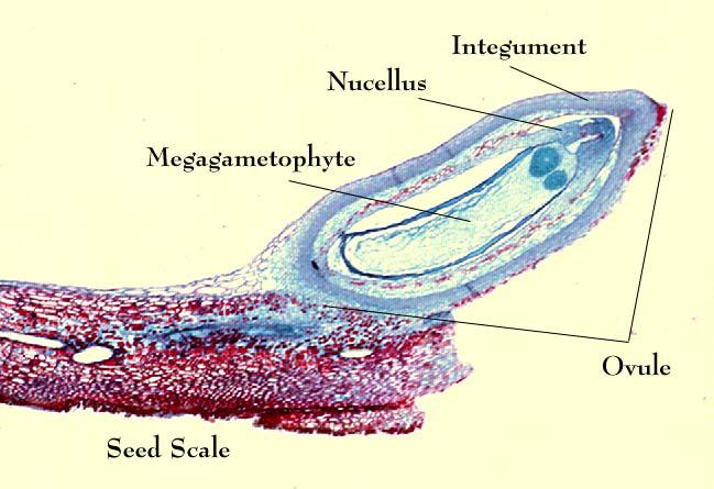 View of seed scale with ovule containing the megagametophyte