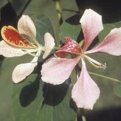 Flowers ot Bauhinia purpurea tree, Los Diamantes