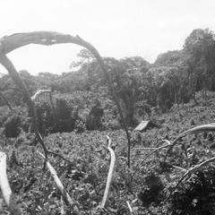 Cornfields Near the Kuba-Bushong Village of Mbon aByesh