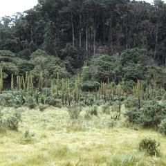 Pasture with Rumex in cloud forest