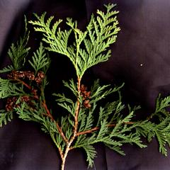 White cedar - branch with mature ovulate cones