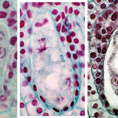 Composite of Lilium megagametophyte, 1. four-nucleated embryo sac, 2. final mitotic division, and 3. mature 8-nucleated 7-celled embryo sac