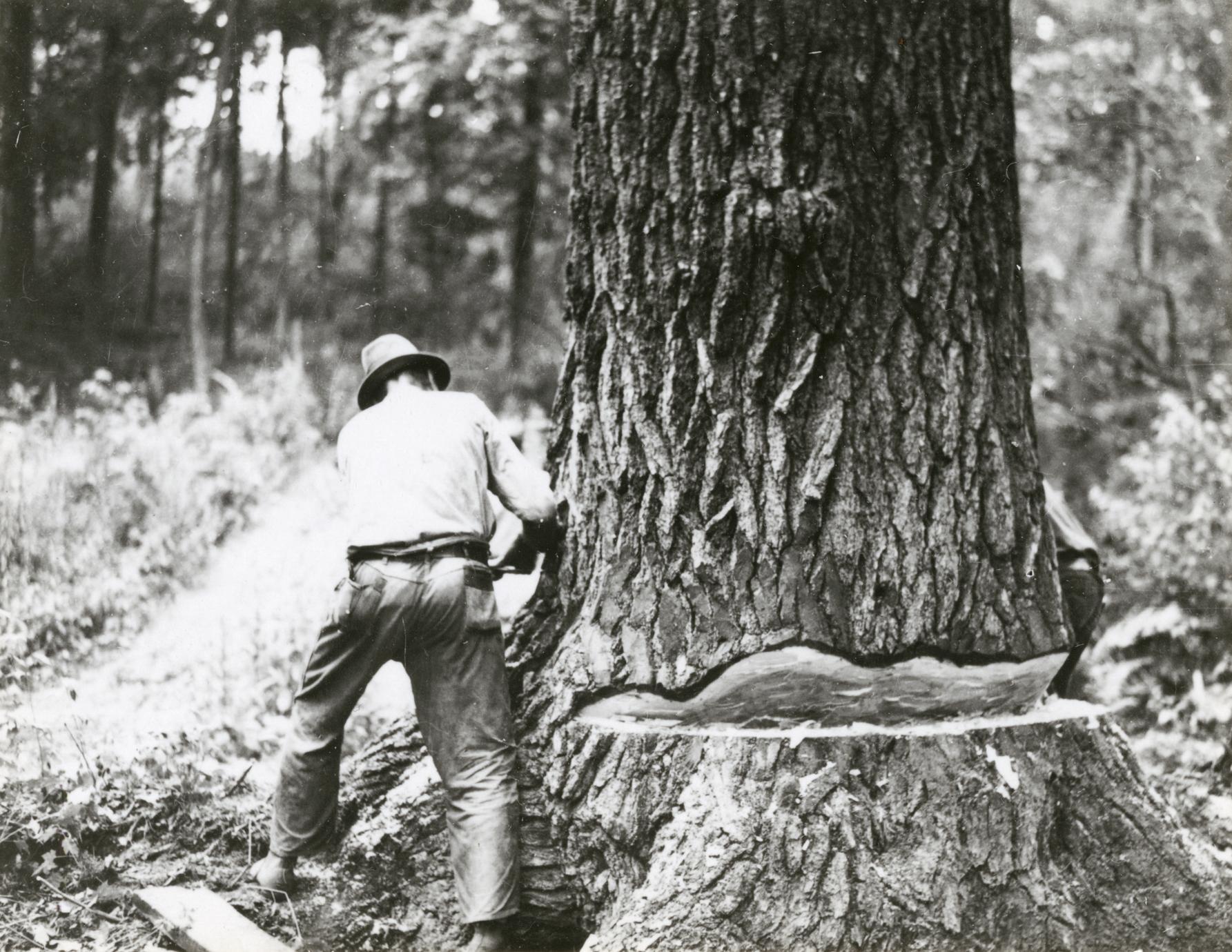 Cutting large white pine