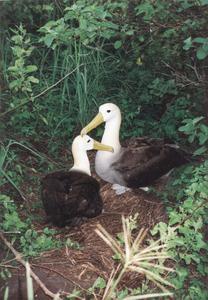 Waved Albatrosses (Diomedea irrorata)