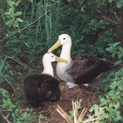 Waved Albatrosses (Diomedea irrorata)