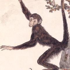 Spider Monkey Print