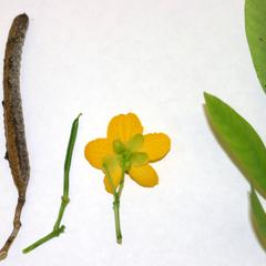 Leaf, flower, immature fruit and mature fruit of Cassia