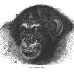 Head of Chimpanzee