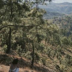 Pine forests on bed of decomposing quartz, Las Viquas Paso