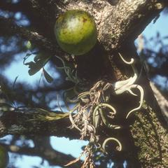 A calabash with fruit, and bromeliad epiphyte, west of Jutiapa