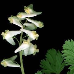 Inflorescence of Dicentra cucullaria
