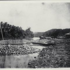 Coconuts, Laguna, 1926