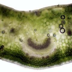 Cross section of the  leaf of carnation with midrib