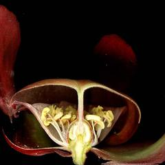 Floral dissection of Sarracenia
