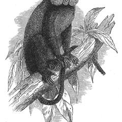 The Black-Bellied Monkey (From Gray, Proc. Zool. Soc.)