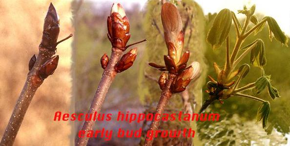 Composite of expansion of horse chestnut bud in the spring