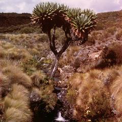 Giant Lobelia Plant on Mount Kenya