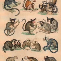 Marmoset Group Print
